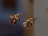 Flying Western honey bees.