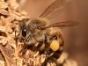 European honey bee carrying pollen back to hive