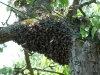 A cast swarm landed on a pear tree taken by Jeremy Carruthers