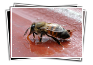 Bees and Water / Drinking