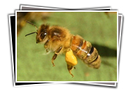 VDBKA Gallery Bees & Pollen