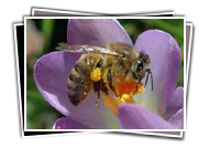 VDBKA Gallery Bees On Flowers