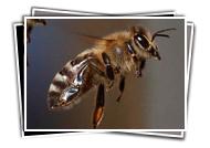 VDBKA Gallery Bees In Flight