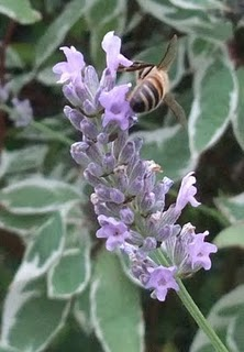 Working the Lavender