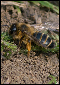 A solitary bee
