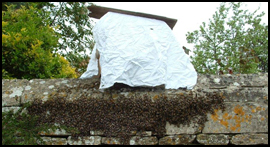 A swarm of honey-bees May 2013 - photo John Eustace